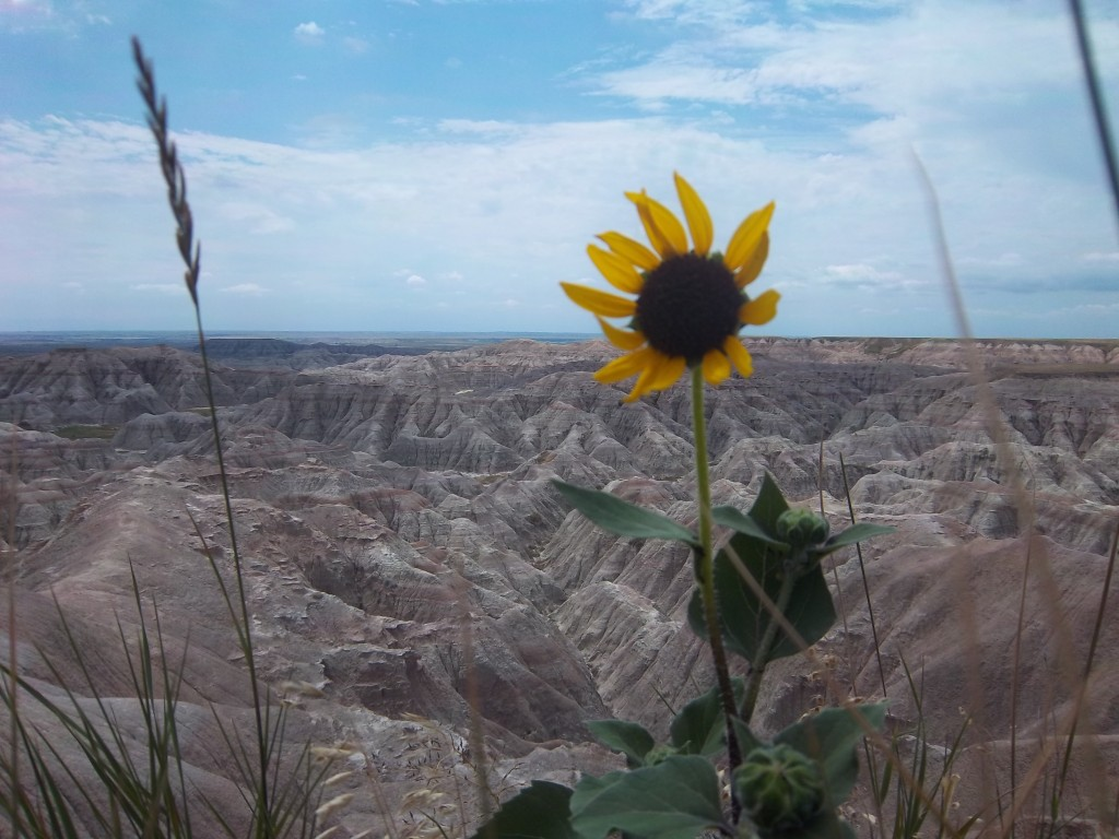 Flower in the Badlands - July 2013