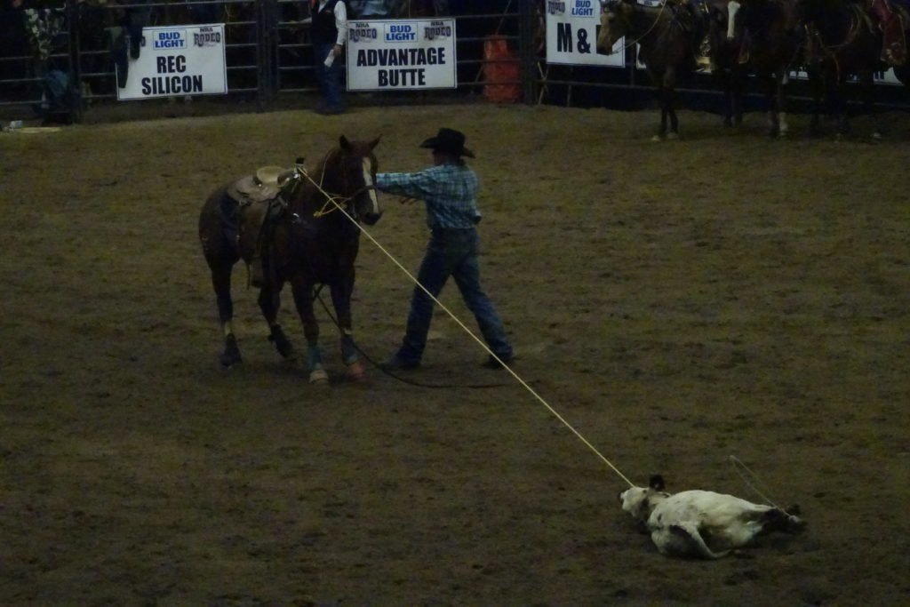 A contestant returns to his horse after completing a tie down roping rodeo challenge.